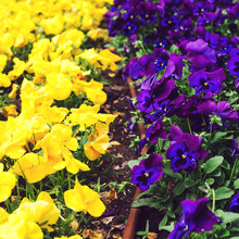 Flowerbed With Purple And Yell...