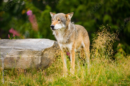 Stickers pour porte Pierre, Sable Wolf Standing On Field By Rock In Forest