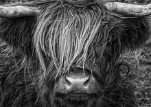 Highlander, Highland Cow, Scotland