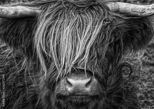 Fototapeta Highlander, Highland Cow, Scotland obraz