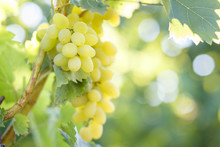 Ripe Juicy White Grapes On Vine In The Garden