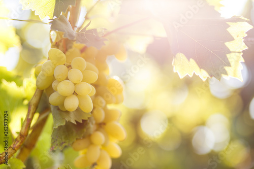 Ripe juicy white grapes on vine in the garden Canvas