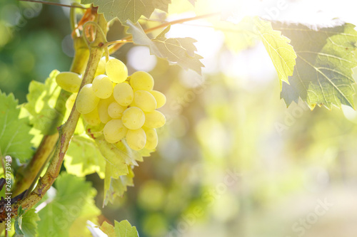 Foto  Ripe juicy white grapes on vine in the garden