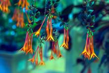 Fuchsia Triphylla Flower Cluster