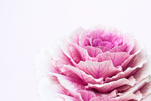 Pink Flower With Copy Space, Minimal Close Up