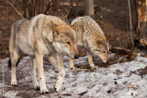 Fotografija A pair of wolves (husband and wife, boyfriend and girlfriend) walk together through the forest (love)