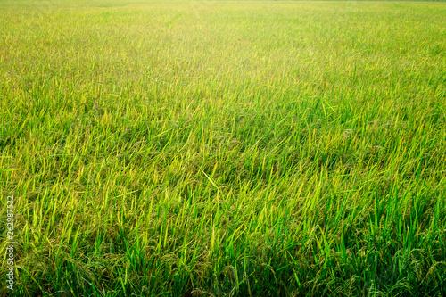 Türaufkleber Pistazie Green rice field background