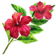 Beautiful Large Tender Pink Flower, Bright Red Blooming Tropical Flower With Leaves, Romantic Bouquet, Isolated, Hand Drawn Watercolor Illustration On White Background