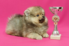 Pomeranian Puppy On A Pink Background