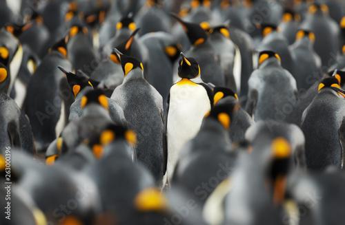 Vászonkép  King penguins at Volunteer point, Falkland Islands.