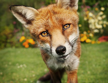 Close Up Of A Red Fox In Summer