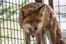Yawning Red Fox Vulpes Vulpes