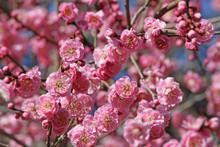 Ume Blossom In Japanese Garden