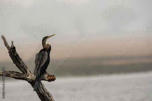 Fényképezés  A snakebird perched on a tree branch in the marshy lands of Keoladeo National Pa