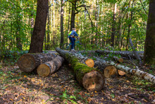 """Fallen Trees In The Forest Park """"Losinyy Ostrov"""" In Moscow"""