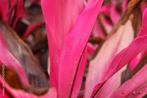Garden Poster Lotus flower closeup of pink flower