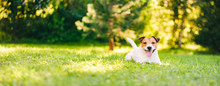 Happy Jack Russell Terrier Pet Dog Lying Down On Green Grass At Back Yard Lawn