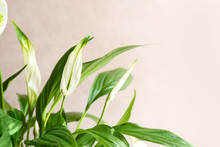 Flowers And Leaves Of Peace Lily On Color Background, Closeup. Space For Text