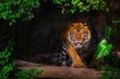 canvas print picture - The Siberian tiger (Panthera tigris tigris) also called Amur tiger