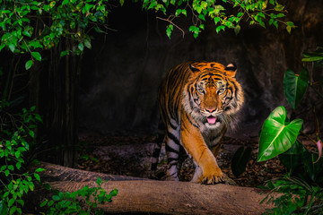 Sibirski tigar (Panthera tigris tigris) također se naziva i amurski tigar