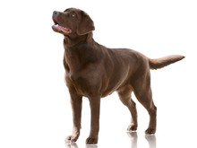 Chocolate Color Dog Labrador Retriever Stand Isolated On White Background. Front View