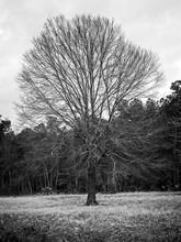 Tree In Field Winter B&W