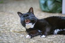 Katze Gähnend
