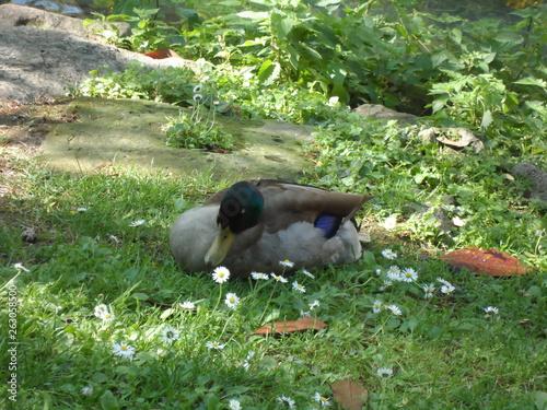 Photo  Ente im Garten