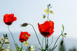 red poppy flowers. macro. small GRIP