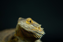 Bearded Dragon Close Up Of Fac...