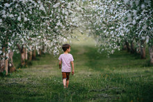 Young Boy Walking Through Blossoms Apple Trees During Spring