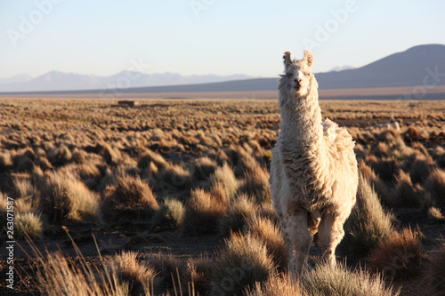 Cadres-photo bureau Lama A white, furry Lama looks quisically into the lens in the golden Altiplano in Bolivia