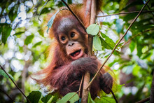 World's Cutest Baby Orangutan Hangs In A Tree In Jungles Of Borneo With Mouth Open