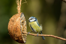 Blue Tit With Coconut Feeder. ...