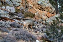 Mule Deer Bucks Grazing, Rocky...
