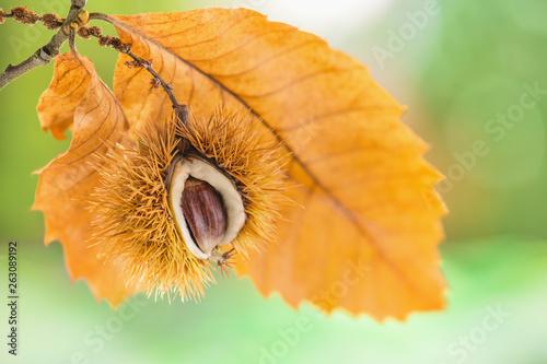 Fotografie, Obraz  Edelkastanie in der Fruchtschale