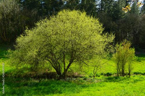 Papiers peints Vert chaux Arbre au printemps