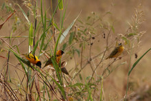Flock Of The Southern Masked Weawers On A Close Up Picture As Spotted During The Safari In Uganda.