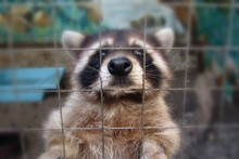 The Raccoon In The Cage Looks ...