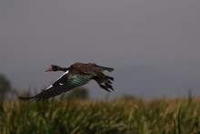 The Spur-winged Goose On The B...