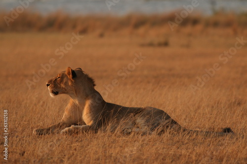 Wild African lions in the savannah. A noble predatory cat in its natural habitat.