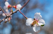 Close-up Of Bee On Almond Tree Pink-white Blossoms Against Blue Sky.