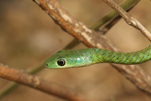 The Spotted Bush Snake, A Species Of Non-venomous Colubrid Snake, Endemic To Africa In Its Natural Environment.