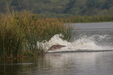 African Hippopotamus In Its Natural Environment. A Well Known Large Animal Occuring Around African Rivers And Wetlands In Its Natural Environment.