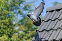 Landing Of Racing Pigeon With Wings Spread Wide