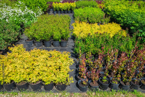 Poster de jardin Gris Spirea plants in plastic pots, seedling of plants at plant nursery.