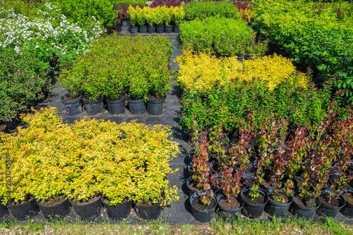 Montage in der Fensternische Grau Spirea plants in plastic pots, seedling of plants at plant nursery.