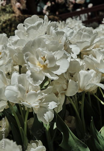 Fototapety, obrazy: bouquet of white flowers