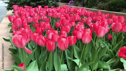 Fotografie, Obraz Tulips swaying to wind