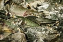 Salmon Season In Alaska, In To...